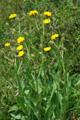 Radicchiella maggiore/Crepis conyzifolia
