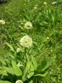 Aglio serpentino/Allium victoralis