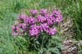 Pedicolare di allioni/Pedicularis rosea ssp. allionii