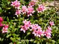 Lioseleuria/Loiseleuria procumbens