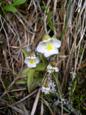 Alpen-Fettblatt/Pinguicula alpina