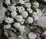 Iberidella alpina/Pritzelago alpina
