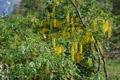 Alpen-Goldregen/Laburnum alpinum
