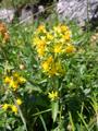 Alpen-Goldrute/Solidago virgaurea ssp.minuta