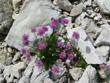 Alpen-Grasnelke/Armeria alpina