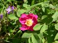 Rosier des Alpes/Rosa pendulina