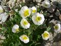 Ranuncolo alpestre/Ranunculus alpestris