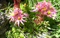 Joubarbe des montagnes/Sempervivum montanum