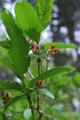 Chèvrefeuille alpestre/Lonicera alpigena