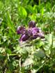 Bartsia alpina