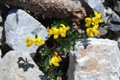Alpen-Hornklee/Lotus alpinus