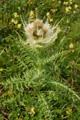 Alpen-Kratzdistel/Cirsium spinosissimum