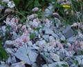 Silene vulgaris ssp. glareosa