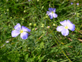 Alpen-Lein/Linum alpinum