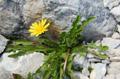 Pissenlit des Alpes/Taraxacum alpinum