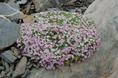 Androsace des Alpes/Androsace alpina