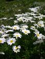 Marguerite des Alpes/Leucanthemopsis alpina