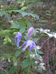 Alpenrebe/Clematis alpina