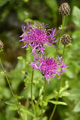Centaurée alpestre/Centaurea scabiosa ssp. alpestris