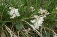 Alpen-Tragant/Astragalus alpinus