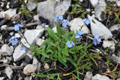 Alpen-Vergissmeinnicht/Myosotis alpestris