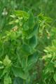 Erba vaiola alpina/Cerinthe glabra
