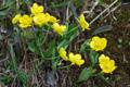 Bastard-Hahnenfuss/Ranunculus hybridus