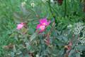 Bereifte Rose/Rosa glauca