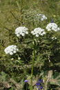 Heracleum sphondylium ssp. elegans