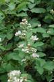 Ronce blanchâtre/Rubus montanus