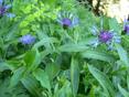 Berg-Flockenblume/Centaurea montana