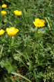 Renoncule des montagnes/Ranunculus montanus