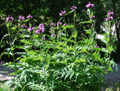 Cirsium montanum