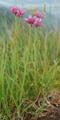 Ail des montagnes/Allium lusitanicum