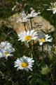 Leucanthemum vulgare ssp. adustum
