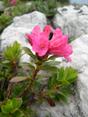Rhododendron cilié/Rhododendron hirsutum