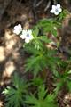 Géranium blanc/Geranium rivulare