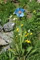 Blauer Mohn/Meconopsis betonicifolia