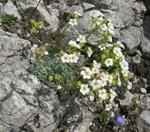 Saxifrage bleuâtre/Saxifraga caesia