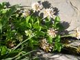 Trèfle pâlissant/Trifolium pallescens