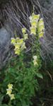 Antirrhinum latifolium