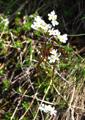 Briançon-Mannsschild/Androsace adfinis ssp. brigantiaca