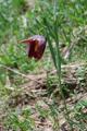 Östliche Schachblume, Zarte Schachblume/Fritillaria orientalis