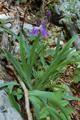 Iris du Monte Cengio Alto/Iris pallida ssp. cengialti