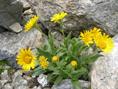 Doronico del granito/Doronicum clusii