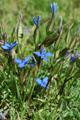 Gentiana verna ssp. delphinensis