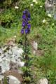 Dichtblütiger Blau-Eisenhut/Aconitum compactum