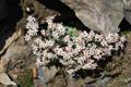 Dickblättriger Mauerpfeffer/Sedum dasyphyllum
