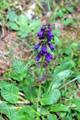 Drachenmaul/Horminum pyrenaicum