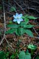 Dreiblatt-Anemone/Anemone trifolia